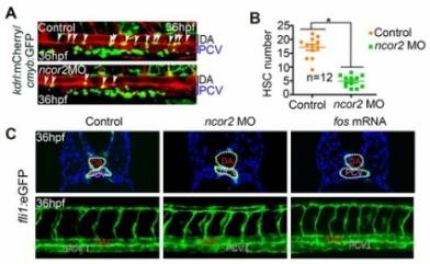 刘峰研究组关于ncor2调控斑马鱼造血干细胞产生的研究